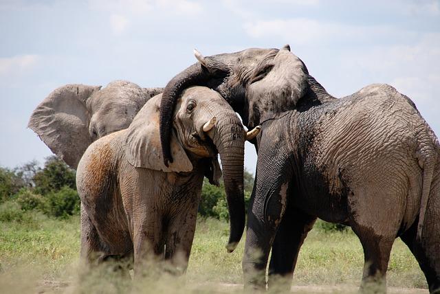 afričtí sloni