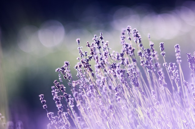 kvety levanduľa